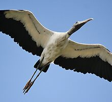 Wood Stork Wing Span by Paulette1021