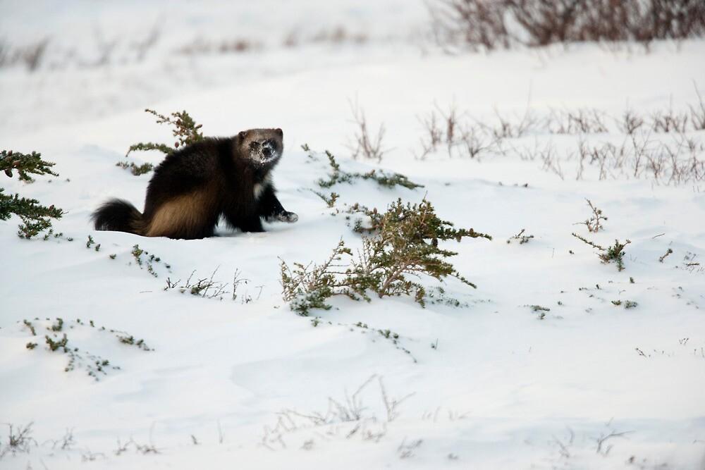 Wolverine in Winter by Tim Grams