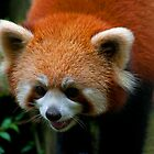 Red Panda, China by bulljup