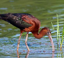 Glossy Ibis Foraging by Michael Mill