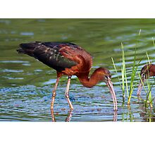 Glossy Ibis Foraging Photographic Print
