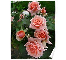 My rose garden Poster