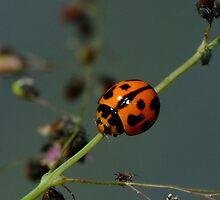 Variable Ladybird Beetle - Coelophora inaequalis by Gabrielle  Lees