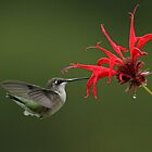 Ruby-throated Hummingbird Feeding from Bee Balm by Bill McMullen