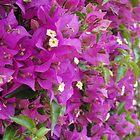 Bright fuschia flowers form a hedge in Monaco by tracyannjones