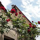 Roses in medieval town - Rothenburg, Germany by tracyannjones