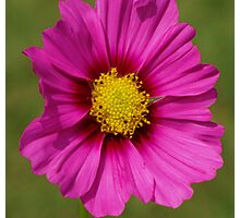 close-up of a pink cosmos flower Photographic Print