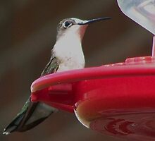 Albinistic Ruby Throat Hummy by kentuckashee