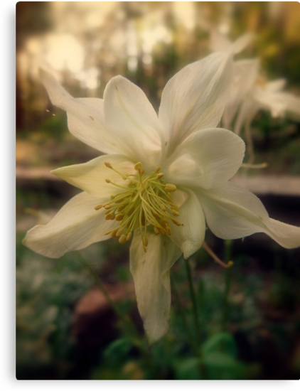 Soft Evening Light on the Columbine Flower by Lucinda Walter