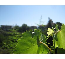 Grape leaf Photographic Print