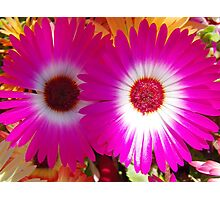 Pink Aster Photographic Print