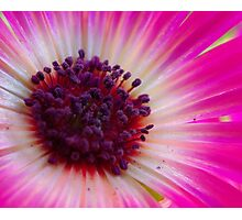 Close crop - Aster Photographic Print