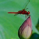 Red dragonfly 、Japan by yoshiaki nagashima