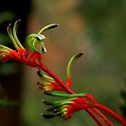 Kangaroo Paw by myraj