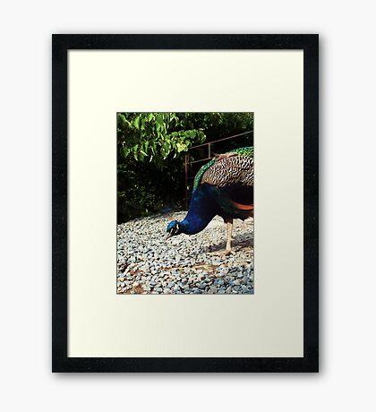 Playful Peacock Framed Print
