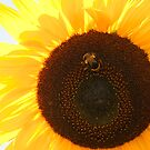 Sunflower by Skye Hohmann