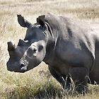 White Rhinoceros (Ceratotherium simum) by Anna Phillips