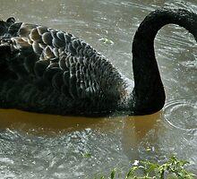 Black swan by a-c-tree