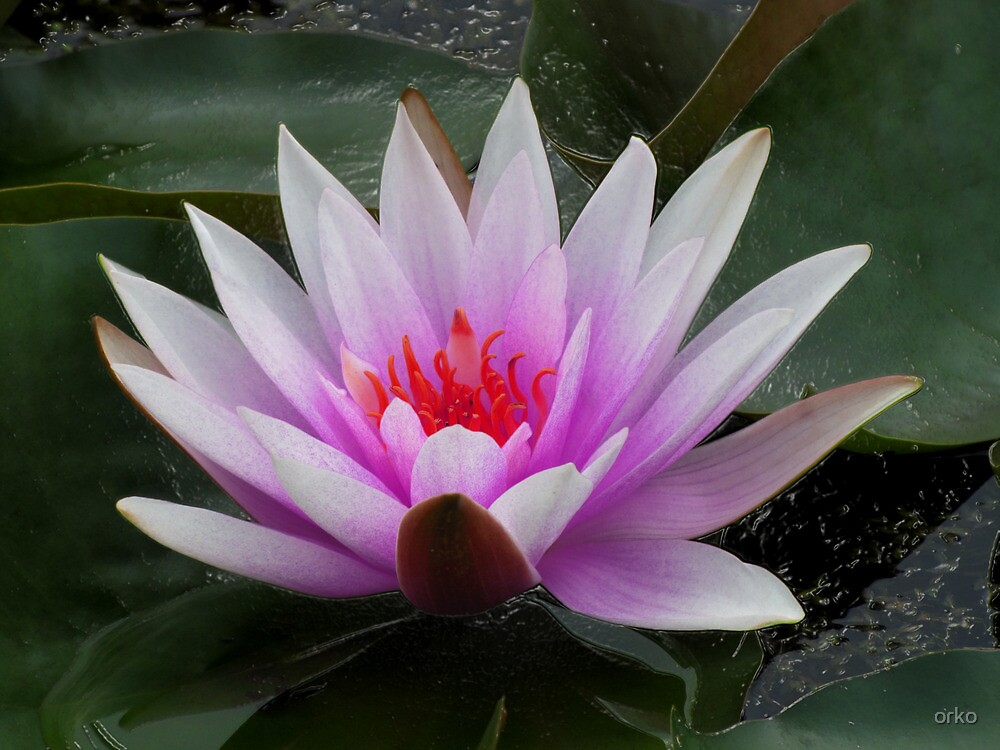 Waterlily by orko