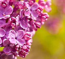 Pink Syringa vulgaris or lilac flowers macro  by Arletta Cwalina