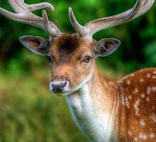 Fallow Deer  by Yhun Suarez