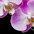 Orchid Tears by Ann Garrett