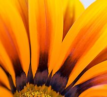 Heart of the Gazania  by DIANE  FIFIELD