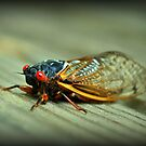 Red Eyed Cicada by Kelly Nowak