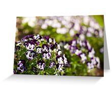 Purple white Viola or pansy variegated flowers  Greeting Card