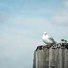 Seagull on Pier A by Misti Hymas