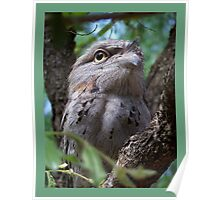 Tawny Frog-Mouth Owl Poster
