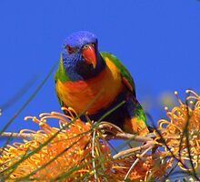Rainbow Lorikeet 2 by robmac