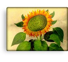 Gorgeous Vintage Botanical Sunflower Canvas Print
