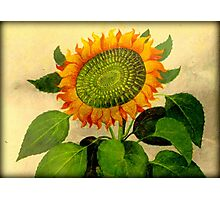 Gorgeous Vintage Botanical Sunflower Photographic Print