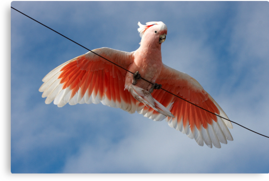 Major Mitchell's Cockatoo (Pink Cockatoo) ~ Circus Act by Robert Elliott