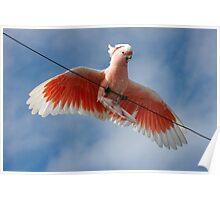 Major Mitchell's Cockatoo (Pink Cockatoo) ~ Circus Act Poster