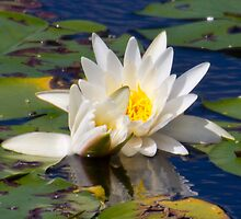 Water Lily in the Reservoir by RCRimagery