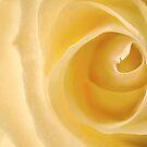 Delicate yellow rose by Celeste Mookherjee
