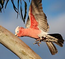 Galah ~ Precision Landing??? by Robert Elliott