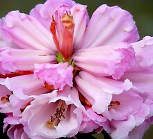 Iv'e Unfolded My Beauty For You.. - Pink Rhododendron by AndreaEL