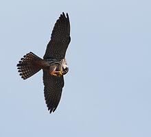 hobby (Falco subbuteo) by Grandalf