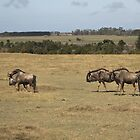 Herd of Wildebeest by Anna Phillips