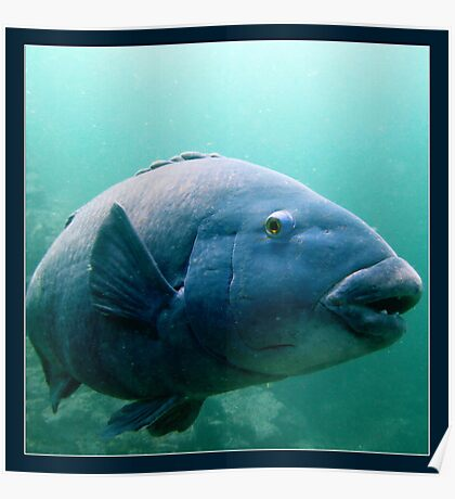 Blue Grouper Poster