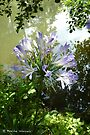 Agapanthus by the water by Photos - Pauline Wherrell