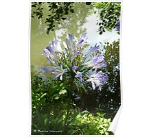 Agapanthus by the water Poster