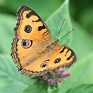 Orange Butterfly by Michelle Callahan