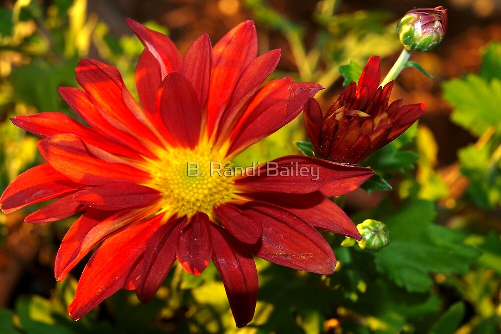Red daisy chrysanthemum by ♥⊱ B. Randi Bailey