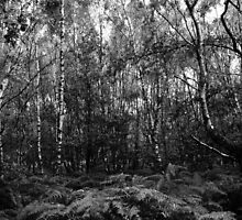 Silver Birches in Ashdown Forest #3 by Matthew Floyd