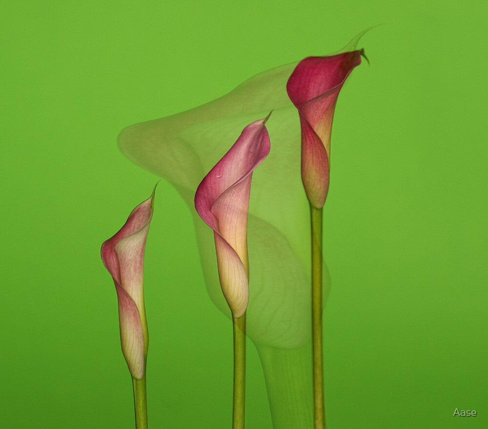 Calla Lilies by Aase