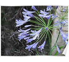 Blues at Dusk - Agapanthus Campanulatus Poster